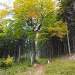 Rotbuche als Grenzbaum