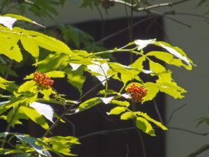 Trauben-Holunder